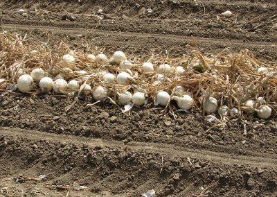 Daržovių sėklų sėjamaja SPX 2015 paseti svogunai paruosti surinkti