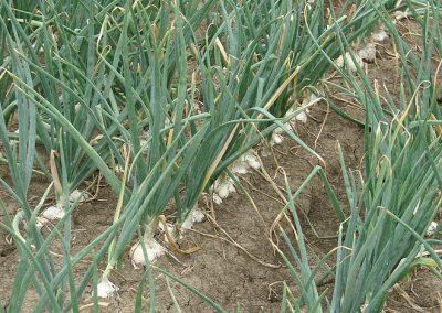 Daržovių sėklų sėjamąja SPX 86 pasėti svogūnai