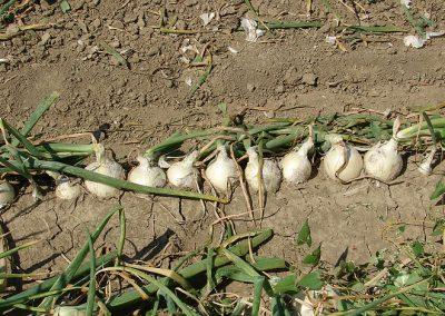 Daržovių sėklų sėjamąja SPX 86 pasėti svogūnai eilutėmis