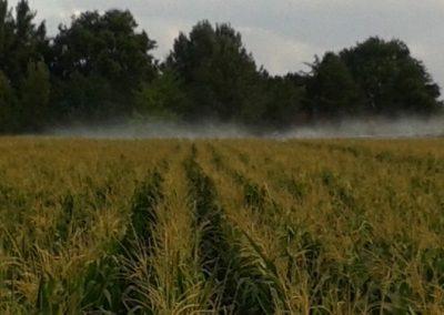 Laistymo sija Keturios minutės laisto kukurūzų lauką