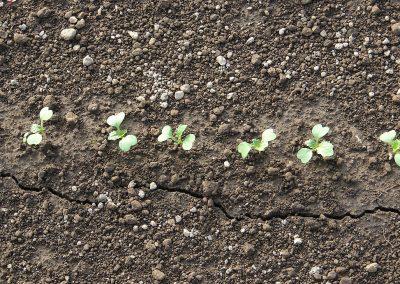 Moduline daržovių sėklų sėjamąja SP 2012 pasėti ridikėliai