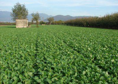 Moduline daržovių sėklų sėjamąja SP 2012 pasėtos daržovės lauke