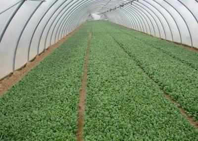 Pjaunamų daržovių sėjamąja SM 2000 pasėti špinatai tunelyje