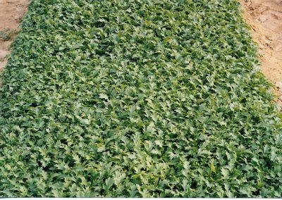 Pjaunamų daržovių sėjamąja SM 2000 pasėtos Frize salotos