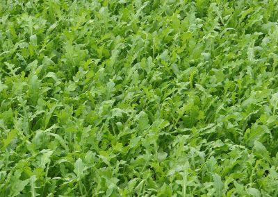 Pjaunamų daržovių sėjamąja SM 2000 pasėtos salotos gražgarstės (Rucola) salotos