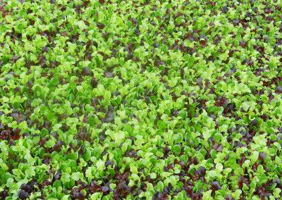Pjaunamų daržovių sėjamąja SM 2000 pasėtos įvairios salotos salotos