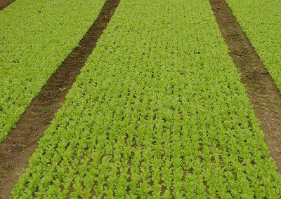 Pjaunamų daržovių sėjamąja SM 2000 pasėtos salotos