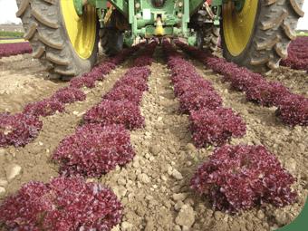 Robocrop InRow ravėtuvas kauptuvas ravi raudonas salotas