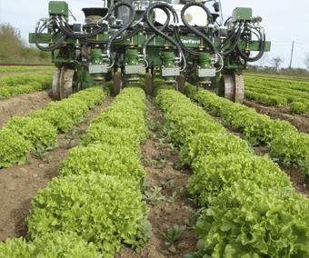 Robocrop InRow ravėtuvas kauptuvas ravi žalias salotas